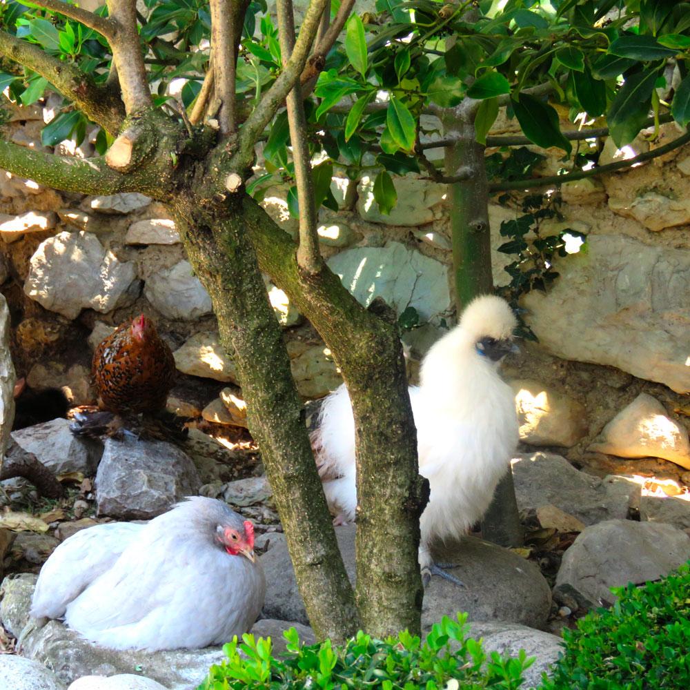 Les buis de Lussan | Les poules de Soie